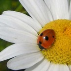 coccinell@